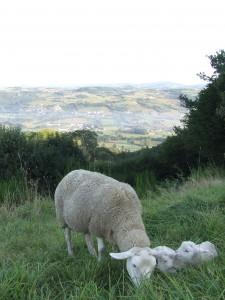 """""""Pâquerette"""" et ses 2 agneaux dans nos prés."""